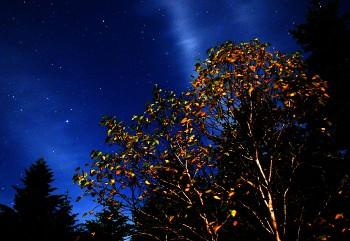 月夜のダケカンバ