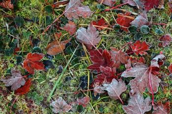 霜降る落ち葉