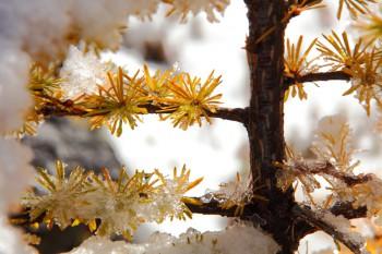 新雪とカラマツ黄葉(10月24日撮影)