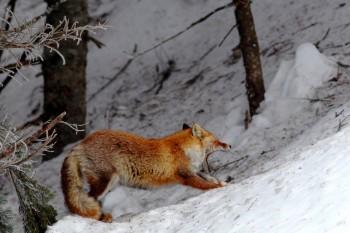 狐の大あくび