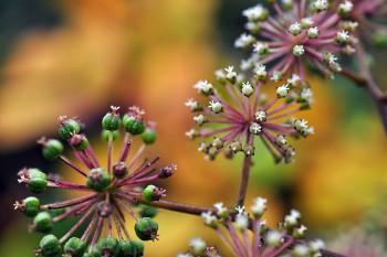 山ウドの種子