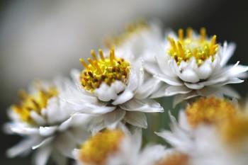 小さなヤマハハコの花