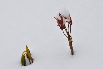 雪に包まれるシャクナゲ Photo by Kenji Shimadate