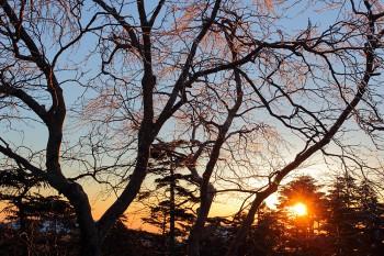 朝陽と雨氷の岳樺(3月23日撮影) Photo by Kenji Shimadate