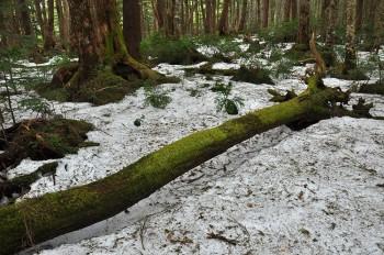 雪解け進む白駒池の森(25日撮影) Photo by Kenji Shimadate