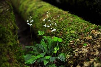 オサバグサ Photo by Kenji Shimadate