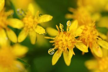 露に濡れるアキノキリンソウ Photo by Kenji Shimadate
