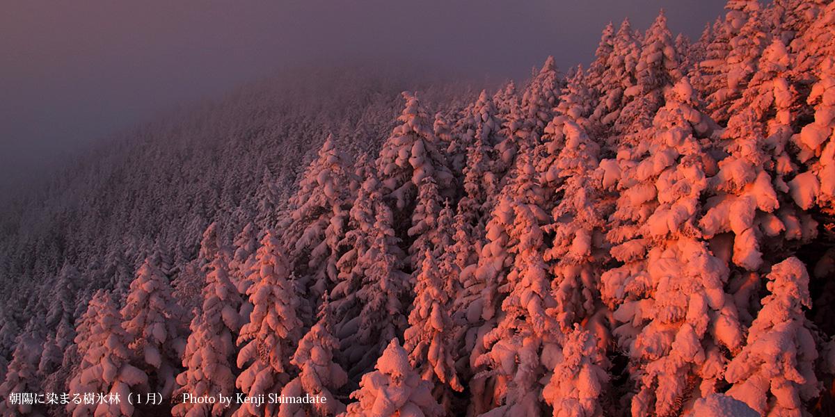 朝陽に染まる樹氷林