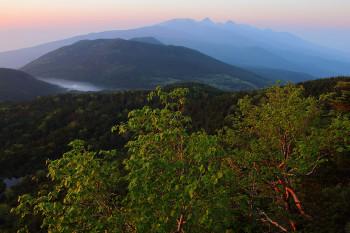 やわらかな朝陽を受けるダケカンバ Photo by Kenji Shimadate