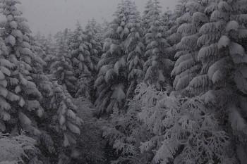 森に降る雪(1月22日撮影) Photo by Kenji Shimadate