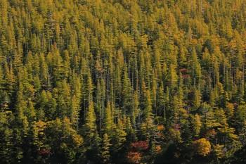 色付き進む双子池の落葉松林(10月3日撮影) Photo by Kenji Shimadate