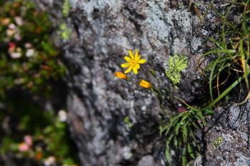 岩場に咲くタカネニガナ Photo by Kenji Shimadate