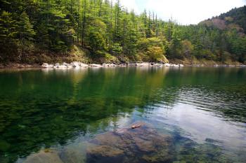 双子池のカラマツの新緑(6月17日撮影) Photo by Kenji Shimadate