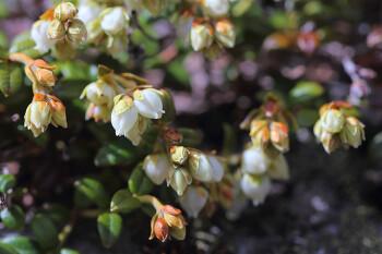 咲き始めたコメバツガザクラ(5月17日) Photo by Kenji Shimadate