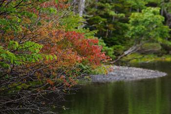 色付き始めたミネザクラ(9月6日撮影) Photo by Kenji Shimadate