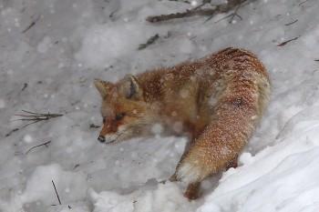 キツネに降る雪 Photo by Kenji Shimadate