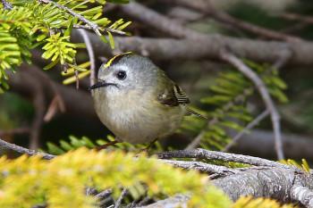 日本一小さな鳥・キクイタダキ Photo by Kenji Shimadate