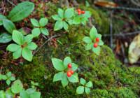 ゴゼンタチバナの赤い実(9月上旬)
