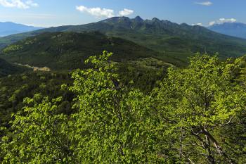 ダケカンバの新緑と八ヶ岳 Photo by Kenji Shimadate