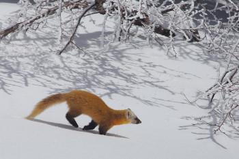 新雪を駆けるテン(3月23日撮影) Photo by Kenji Shimadate